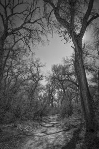 Bosque Cottonwoods #2767 • ©John Simmons