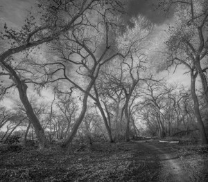 Bosque Cottonwoods #7285 • ©John Simmons