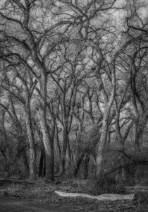 Bosque Cottonwoods #7292 • ©John Simmons